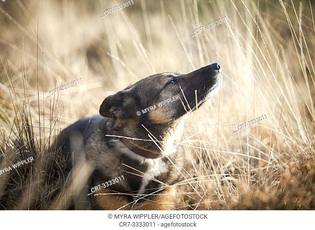 Shepherd and East Siberian Laika mix rescue dog enjoying the sun in a heath, moorland