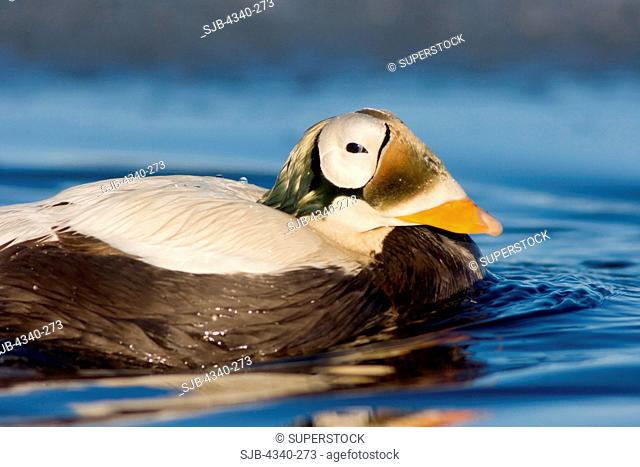 Male Spectacled Eider