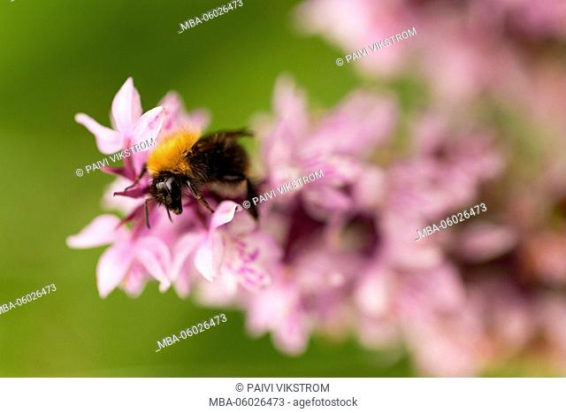 Bumble-bee on wild orchid