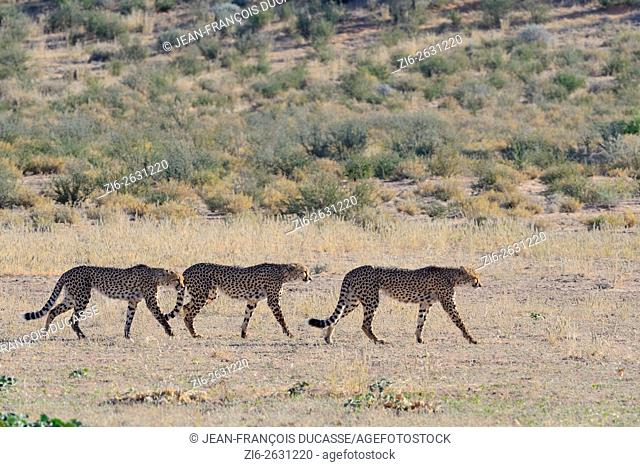 Cheetahs (Acinonyx jubatus), walking in single file in the dry grass, Kgalagadi Transfrontier Park, Northern Cape, South Africa, Africa