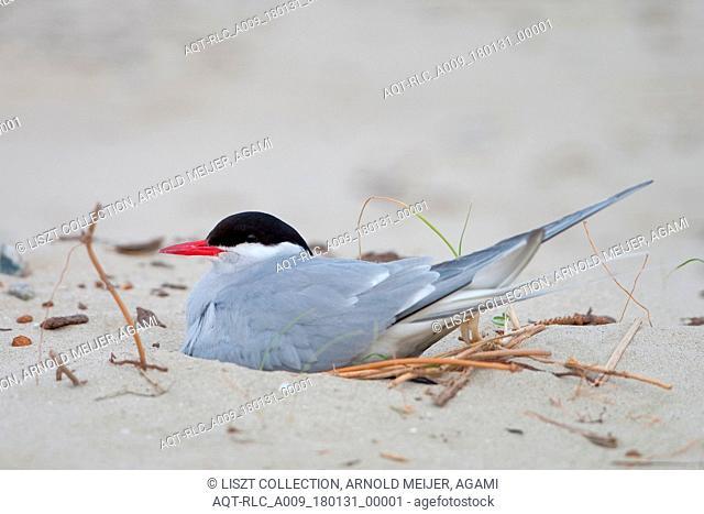Breeding Arctic tern