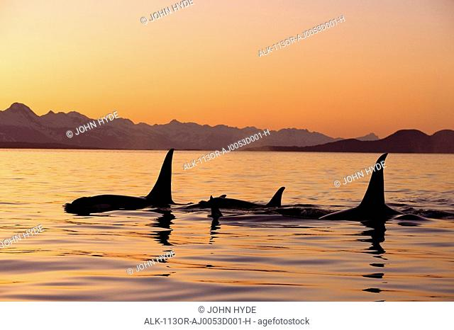 Orca Whales surface in Lynn Canal at Sunset with Coast Range in the background, Alaska