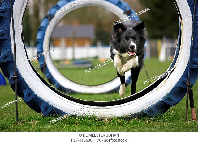 Border Collie Canis lupus familiaris running through tyres at obstacle course