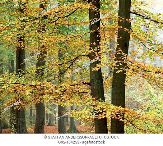 Beech forest in autumn (lat:Fagus Silvatica)Söderåsen Nationalpark. Skåne. Sweden. Scandinavia