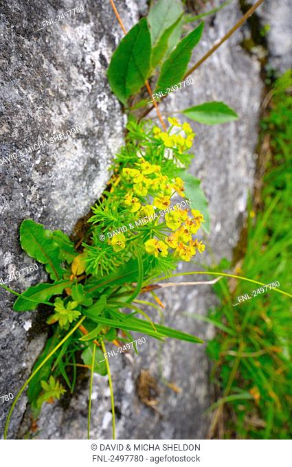 Cypress spurge Euphorbia cyparissias flowers growing on rock, Styria, Austria