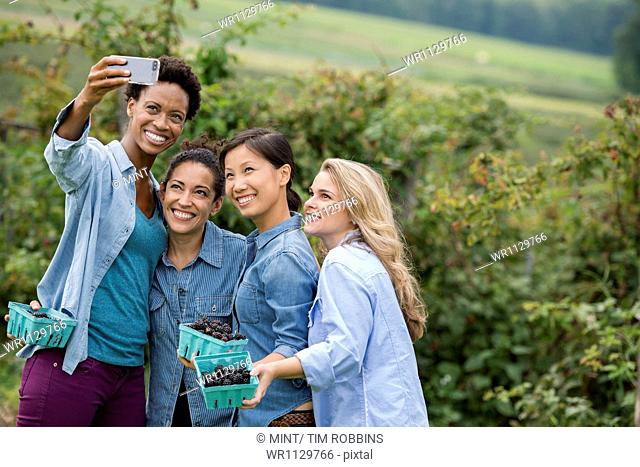 Picking blackberry fruits on an organic farm. Four women posing for a selfy photograph, taken using a smart phone
