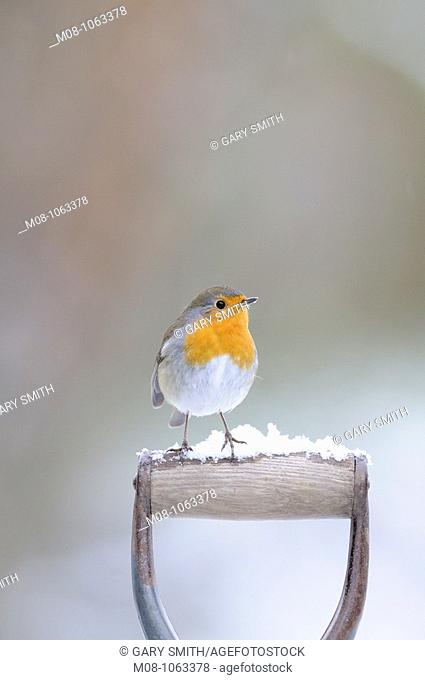 Garden Robin, erithacus rubecula, perched on spade handle, Norfolk,UK, January