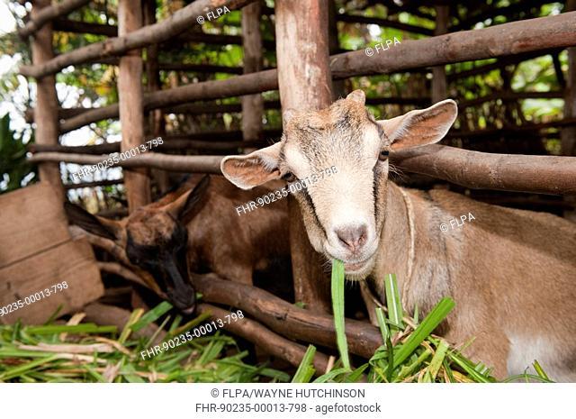 Domestic Goat, young, feeding from trough in shed, Rwanda