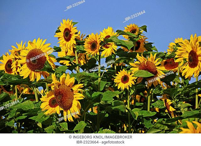 Sunflowers (Helianthus annuus), sunflower field, Tangstedt, Schleswig-Holstein, Germany, Europe