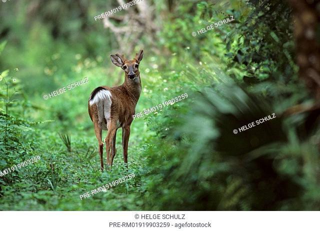 White-tailed Deer, male, Odocoileus virginianus, Odocoileus virginianus clavium