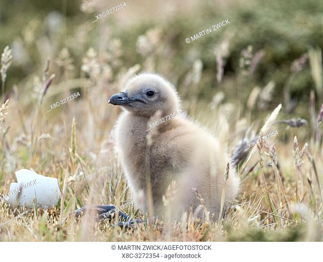 Chick. Falkland Skua or Brown Skua (Stercorarius antarcticus, exact taxonomy is under dispute). They are the great skuas of the southern polar and subpolar...
