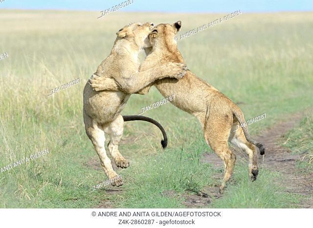 Young lions (Panthera leo) playing together, Maasai Mara national reserve, Kenya