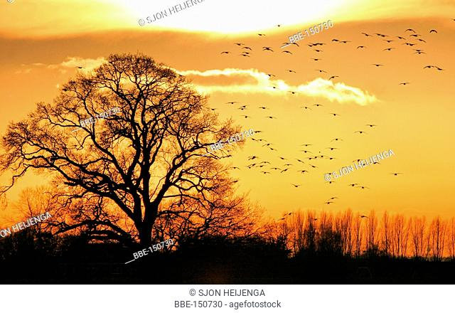Sunset with oak tree and swarm birds