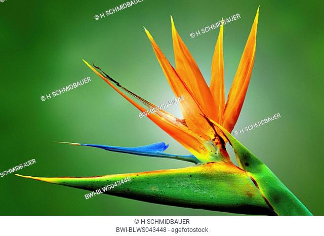 crane flower, bird of paradise flower, geel piesang Strelitzia reginae, blossom