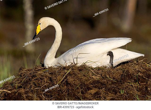 Whooper Swan (Cygnus cygnus), adult sitting on the nest, Ivalo, Lapland, Finland