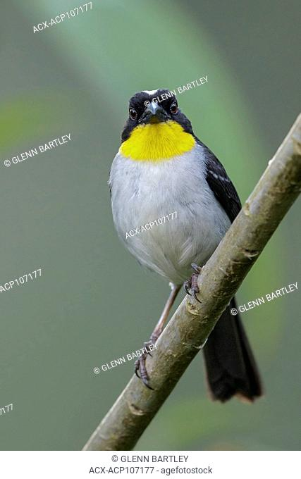 White-naped Brush Finch (Atlapetes albinucha) perched on a branch in the mountains of Colombia, South America
