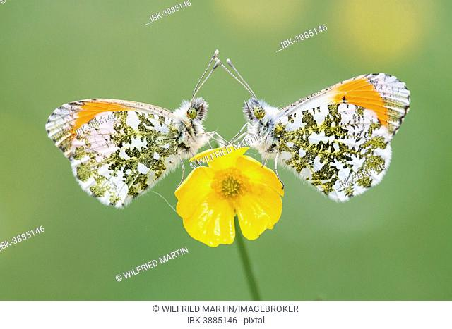 Two Orange Tip butterflies (Anthocharis cardamines), males, on a Buttercup (Ranunculus arvensis)