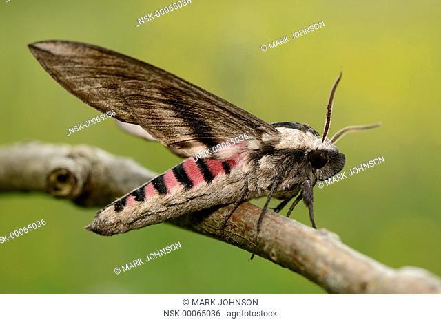 Privet Hawk Moth (Sphinx ligustri) resting on a twig, England, Lincolnshire