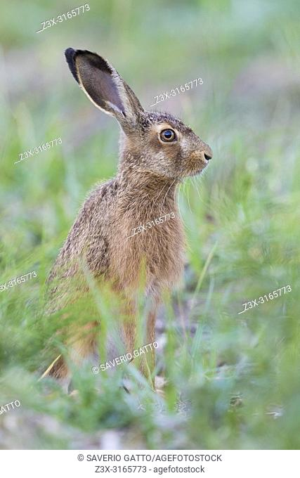 European Hare (Lepus europaeus), adult standing among the grass
