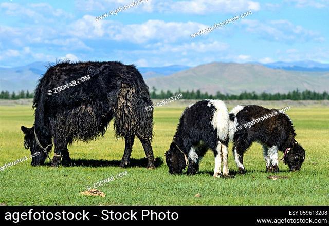 Yak Kuh mit zwei Kälbern, Mongolei / Yak cow with two calves, Mongolia