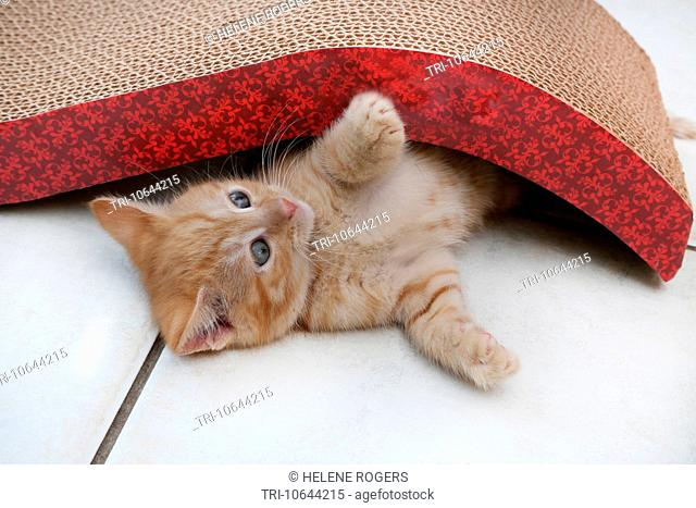 Ginger Kitten Playing With Scratch n'Shapes A Type Of Scratching Post Made With Recycled Paper