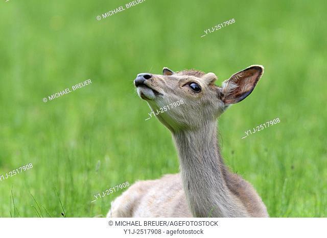 Japanese Deer (Cervus nippon), Male, Hesse, Germany, Europe