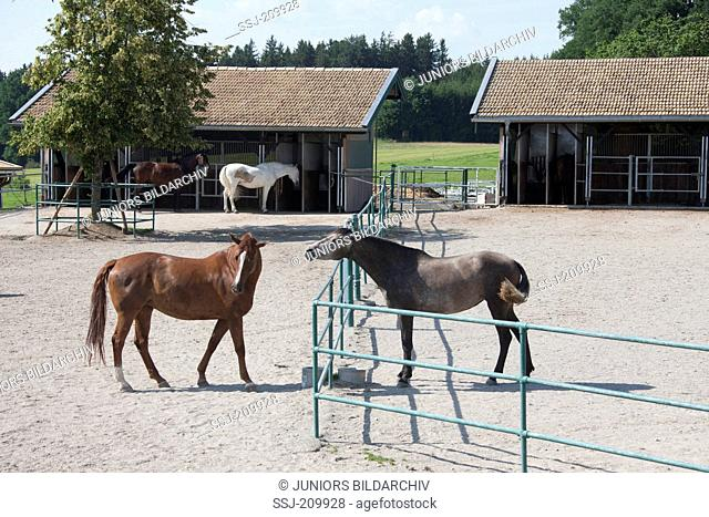 Domestic horse. Two adults at a water tank which they share. The individual on the right shows aggression to the one on the left. Germany