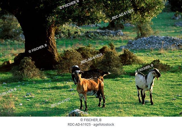 Domestic Goats under Evergreen Oaks Sierra de Grazalema Natural Park Andalusia Spain