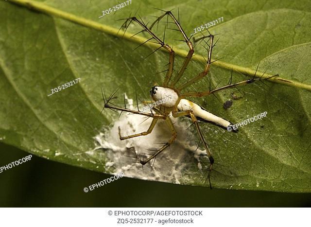 White lynx spider, Oxyopes shweta, Oxyopidae, Belianchip, Tripura , India