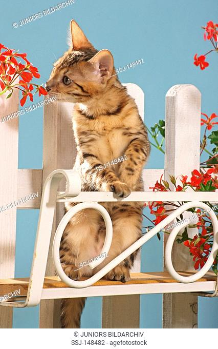 young Bengal cat - sniffling at flower