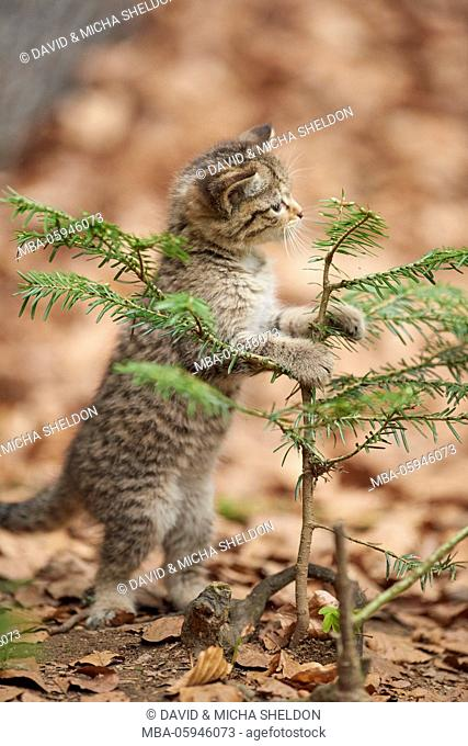 European wildcat, Felis silvestris silvestris, young animal, wood, sidewhite, stand, beg