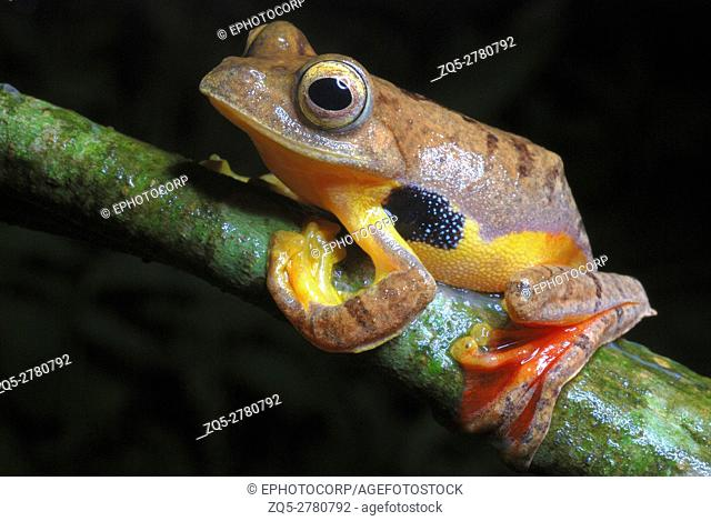 Rhacophorus cf rhodogaster. A species of Gliding frog. Inhabiting the rich evergreen forests of West Kameng district of Arunachal Pradesh. India