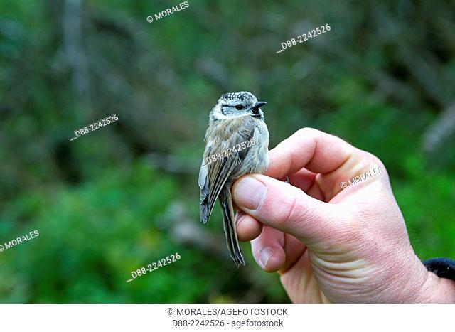 France, Bas Rhin, Le Champ du Feu, ringing the birds with nylon nets for the STOC Progamm which study common birds, European Crested tit