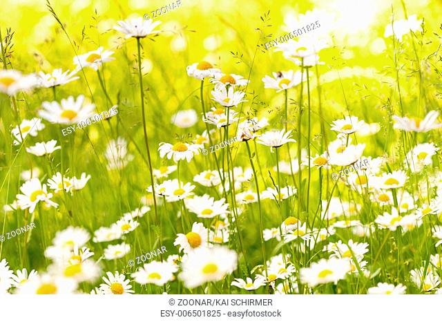 Ox eye daisy flowers on a meadow