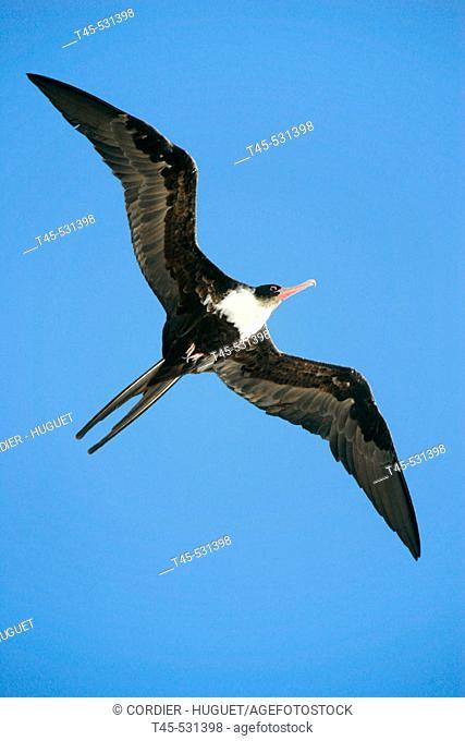 Lesser Frigatebirdl (Fregate ariel). Seychelles
