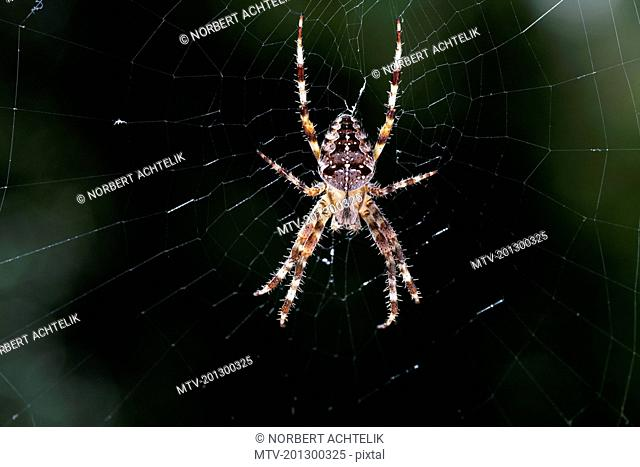 Close-up of garden spider hanging on web, Araneus Diadematus, Bavaria, Germany