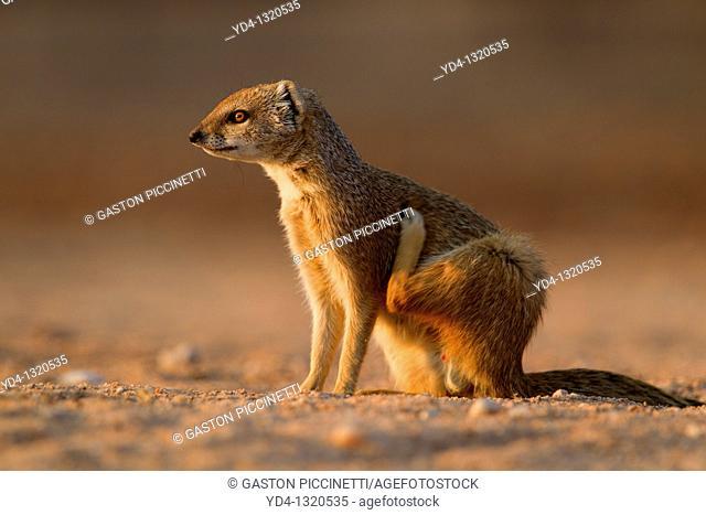 Yellow mongoose Cynictis penicillata, Kgalagadi Transfrontier Park, Kalahari desert, South Africa
