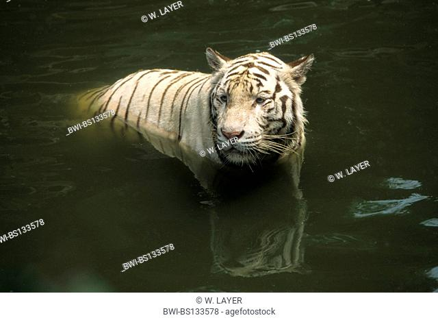 Bengal tiger (Panthera tigris tigris), white individual