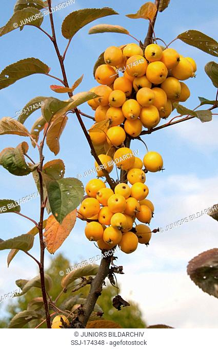 Crab Apple (Malus Golden Hornet), twigs with apples on a tree