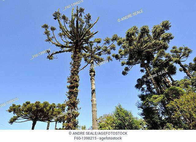 Parana pine or candelabra tree, Araucaria angustifolia, Nova Petropolis, Rio Grande do Sul, Brazil