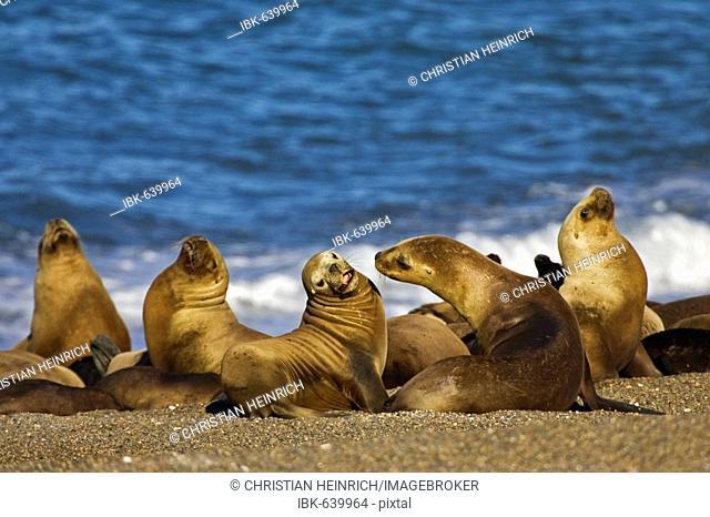 Southern Sea Lion colony (Otaria flavescens), peninsula Valdes, Patagonia, east coast, Atlantic Ozean, Argentina, South America