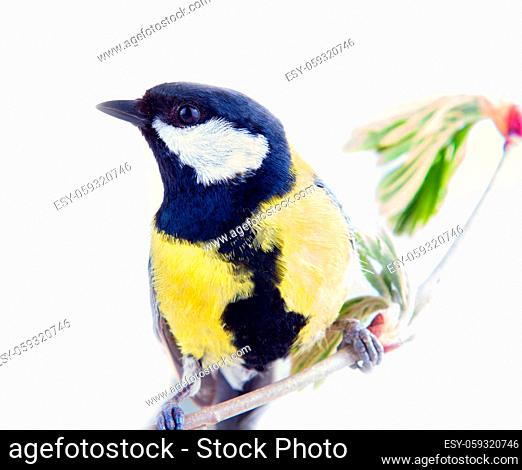 Great tit favorite bird of citizens of Europe. Feeding of birds refers to Tits first of all, Male. Isolated on white background
