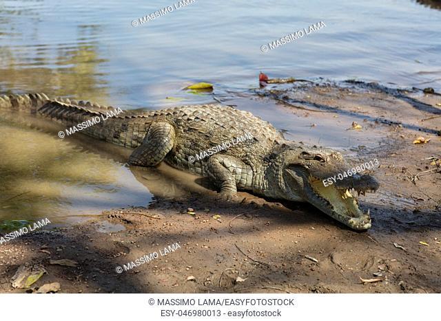 Sacred crocodile in Sabou, Burkina Faso, Africa