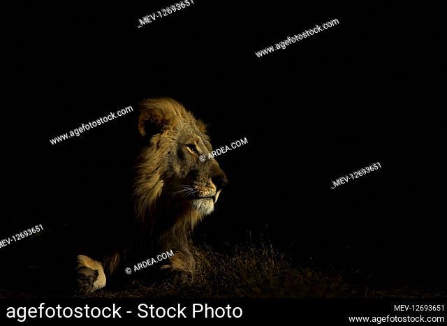 Male lion - in low key - Botswana, Africa