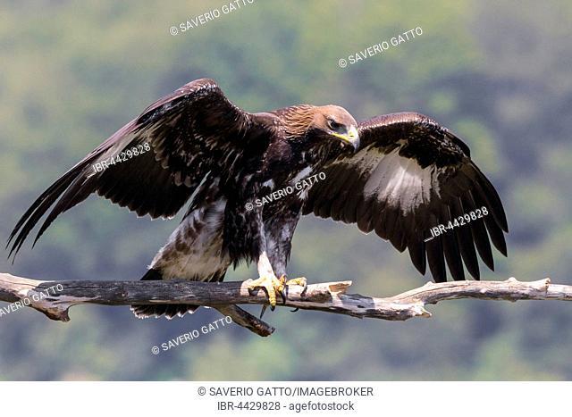 Golden eagle (Aquila chrysaetos), juvenile spreading wings on dead branch, Campania, Italy