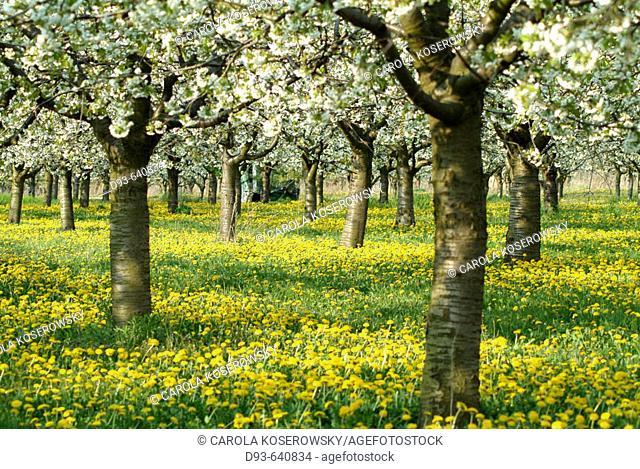 Germany, Brandenburg, Werder/Havel, Cherry Blossom