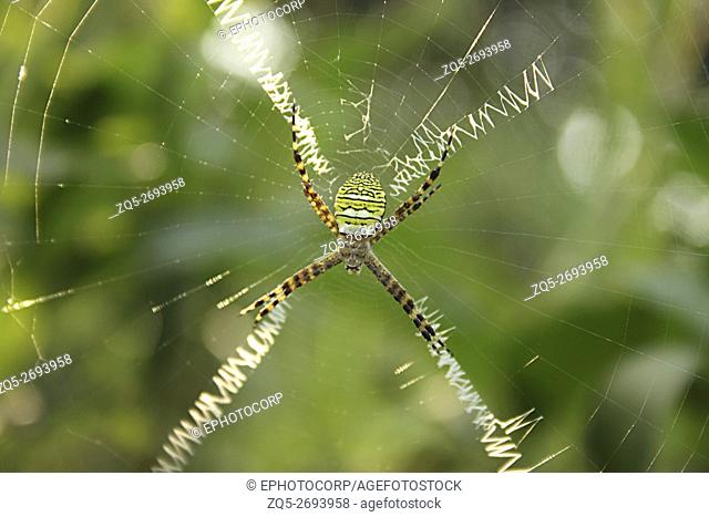 Signature Spider, Argiope sp. Marol Police Camp, Andheri, Mumbai