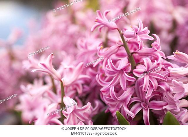 A close-up of pink hyacinth flowers