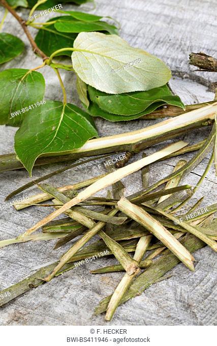 balsam poplar, eastern balsam-poplar, tacamahac (Populus spec.), bark is used as folk medicine, Germany