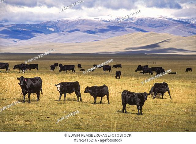 Montana, USA - Beef Cows and Calves at the Matador Cattle Co's Beaverhead Ranch